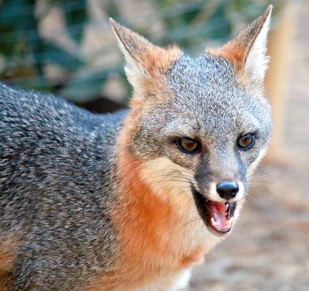 Gray Fox (1)