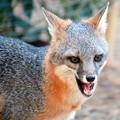 Photos: Gray Fox (1)
