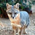 Photos: Gray Fox (2)