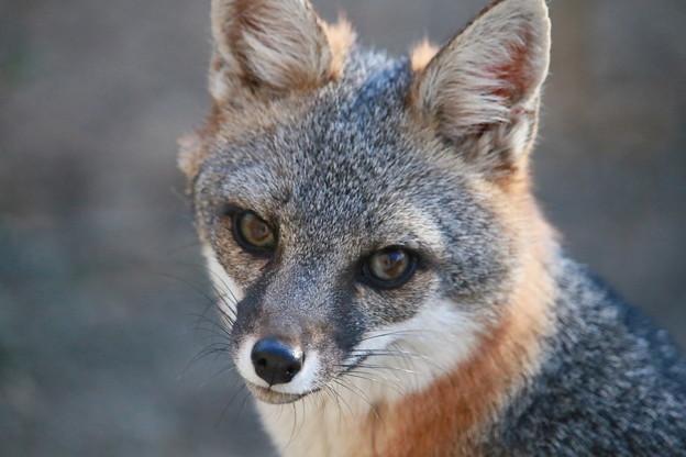 Gray Fox (4)