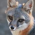Photos: Gray Fox (4)
