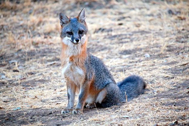 Gray Fox (8)