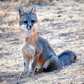 Photos: Gray Fox (8)