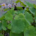 毎葉蓮の葉と