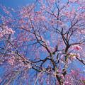 Photos: 春しだれ
