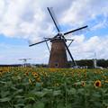 写真: 風車とひまわり畑