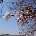 写真: 青空と咲いた桜と蕾