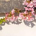 壁面に咲く 河津桜