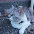 父島の猫組長