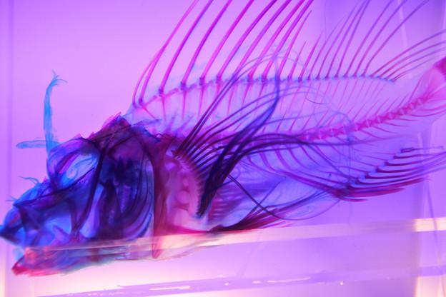 透明骨格標本