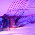 Photos: 透明骨格標本