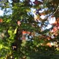 写真: とらわれの紅葉