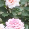 Photos: 薔薇 ・2