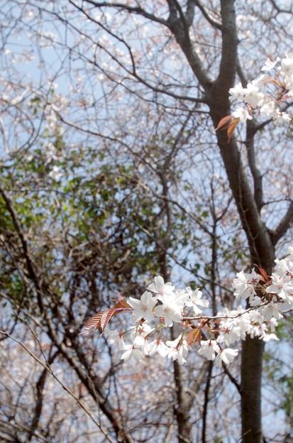 IMGP4225周防大島町、五条の千本桜3