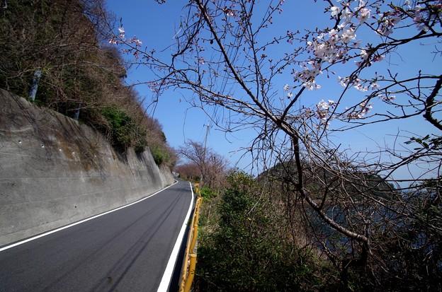 IMGP4230周防大島町、五条の千本桜2