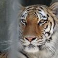 写真: IMGP4580周南市、徳山動物園トラの女の子