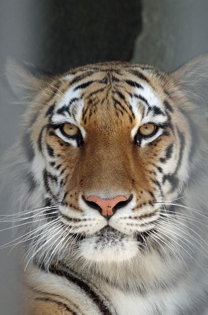 IMGP4604周南市、徳山動物園トラの女の子3
