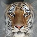 写真: IMGP4604周南市、徳山動物園トラの女の子3