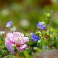 落花 (梅の花)