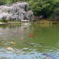 曹源寺のしだれ桜