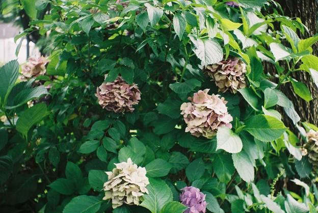 過ぎた紫陽花