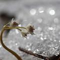 写真: 花雪に入る