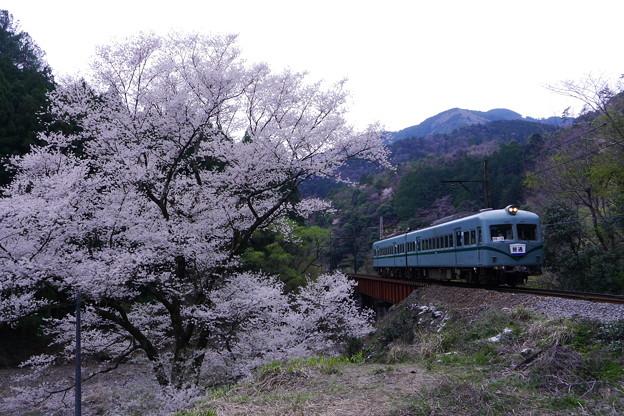 2015年大井川鉄道桜とズームカー