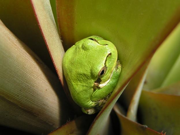 パイナップルのアマガエル