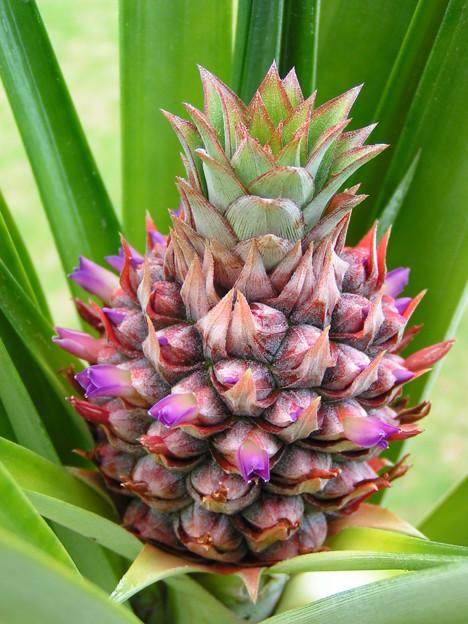 パイナップルの花