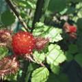 Photos: エビガライチゴの実