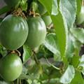 Photos: パッションフルーツの実たち