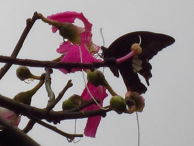 トックリキワタの花の蜜を吸うアゲハ