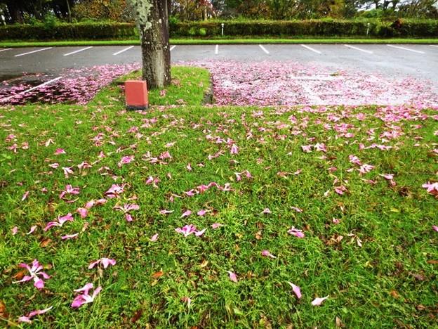 トックリキワタの花の絨毯