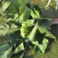 写真: 宮崎ミニバナナ収穫