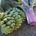 Photos: 宮崎ミニバナナ収穫