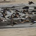 日南海岸のカモの大群