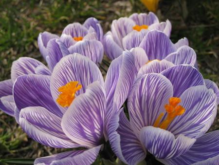 クロッカス(紫×白)