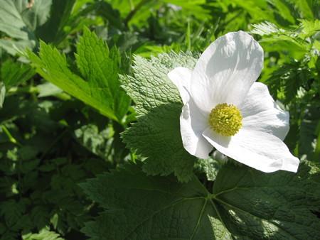 白花のシラネアオイ