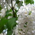 Photos: 白花のライラック