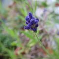 写真: ラベンダー ふらのブルー