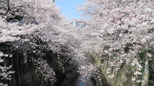 Photos: 15.03.30.都電・神田川 景観(高田2丁目・西早稲田3丁目)