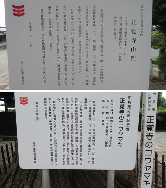 正覚寺(沼田市)山門・コウヤマキ