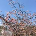 Photos: 17.03.28.鶴岡八幡宮(鎌倉市)