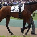 Photos: マカヒキ(2回東京12日 10R 第83回 東京優駿 日本ダービー(GI)出走馬)
