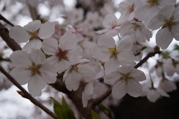 国立 桜大通り 満開祭り
