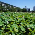 Photos: 夏の千秋公園  蓮の花