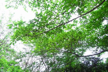 ヤシャブシの木