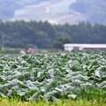 写真: 嬬恋村のキャベツ畑