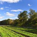 写真: 大王わさび農園