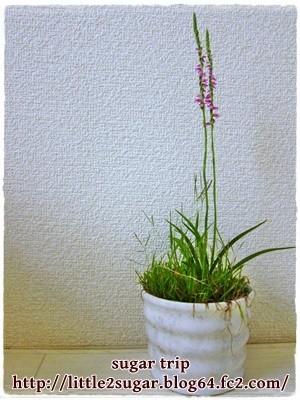 ねじり草1
